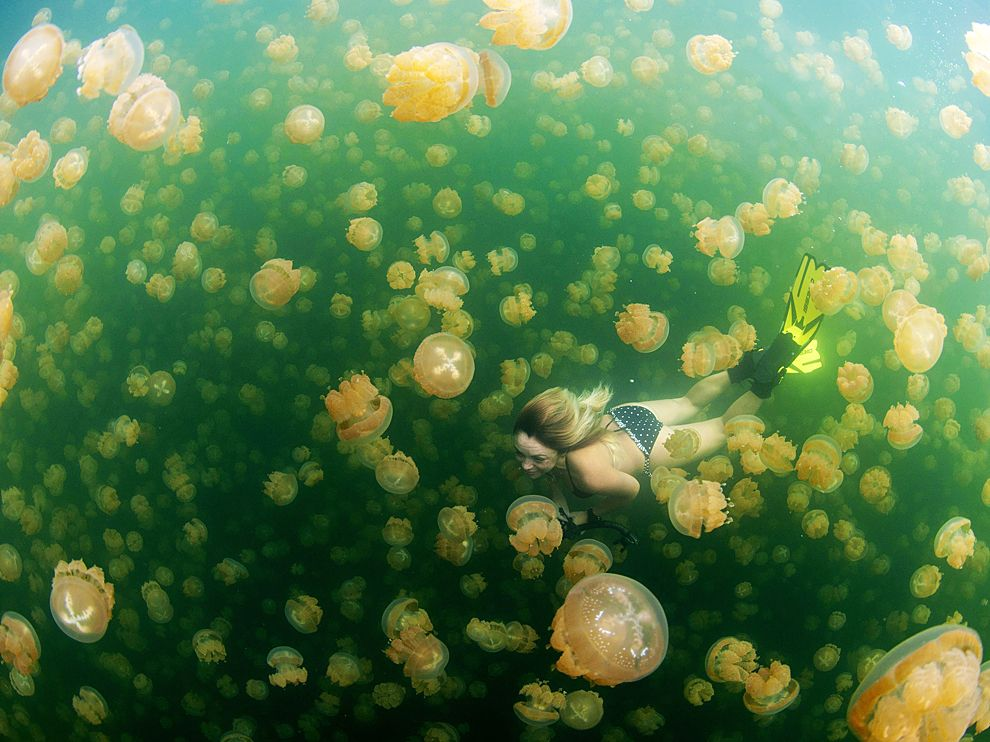swimming-jellyfish-lake-palau_68582_990x742